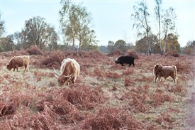 Photo:Highland cattle grazing Hothfield Heathlands