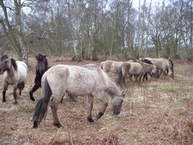 Photo:Konik ponies grazing Hothfield Heathlands